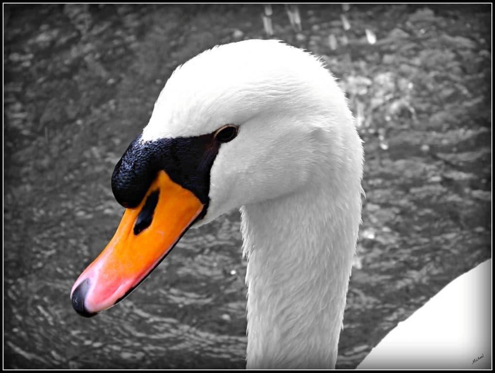 swan upping photo