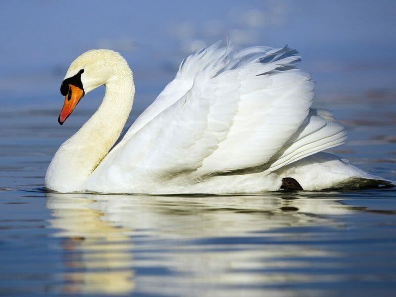 British birds- swan