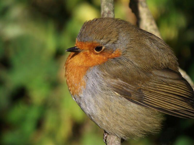 British birds-robin