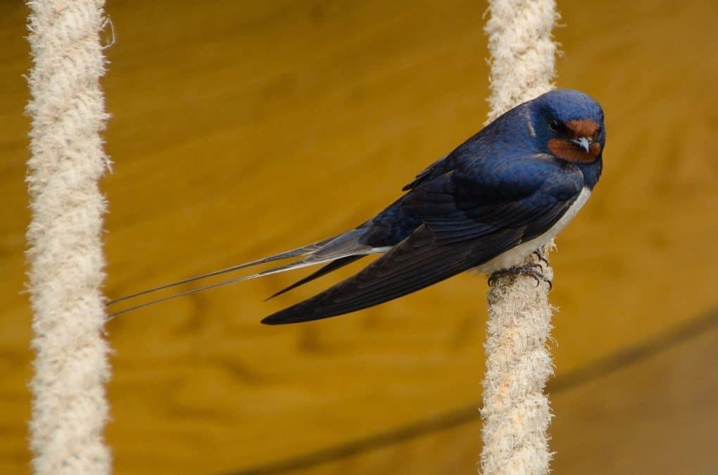 swallow photo