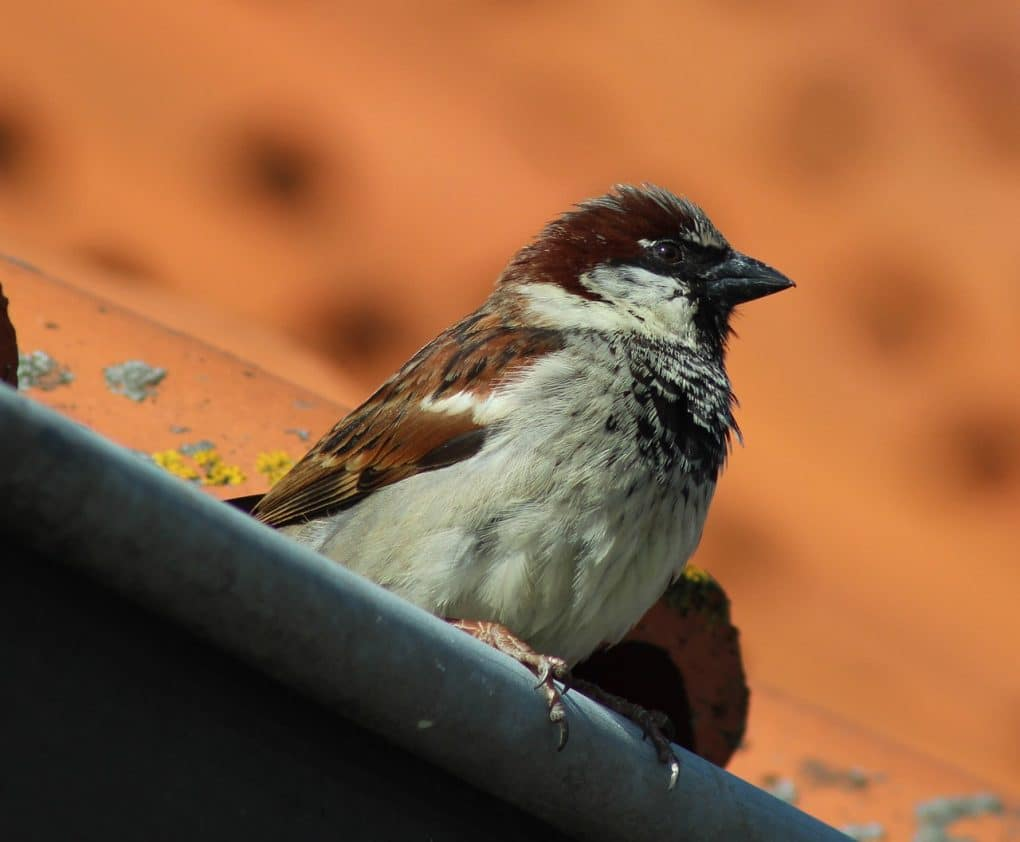 house sparrow photo