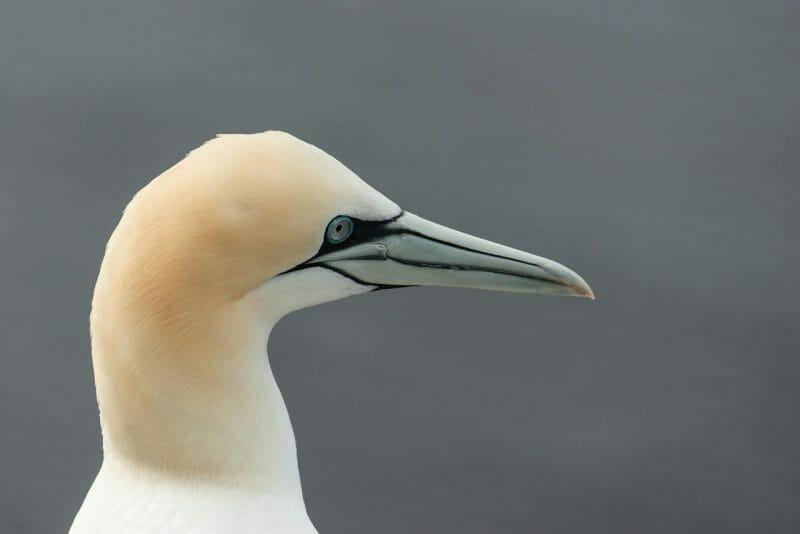 gannet photo