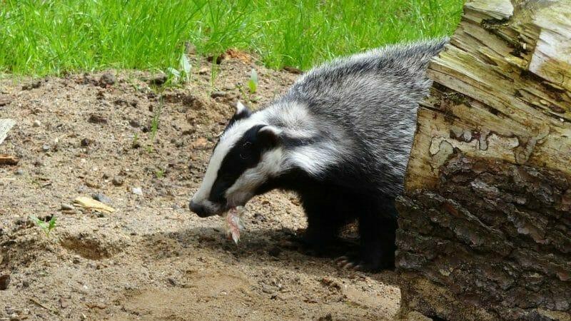 Badger photo